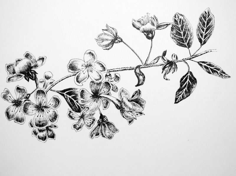 Cherry_Blossom | My Pen and Ink Drawings